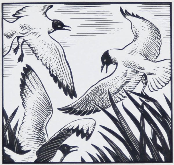 Colin Gibson_Original_Scraper Board_Black Headed Gulls_4.5x4.5_12x12_125_unframed